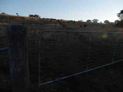 Mission accomplished! Gate closed behind the mob. Correct mob. Correct paddock! All achieved by cowgirl Fiona!!
